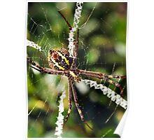 St Andrew's Cross Spider (Argiope keyserlingi) Poster