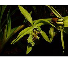Coelogyne pandurata Photographic Print