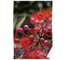 Orange Flowering Gum Poster