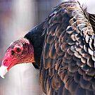 Vulture or Turkey Buzzard by barnsis