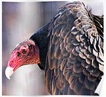 Vulture or Turkey Buzzard Poster