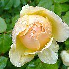 Rosey Tears by Amy Dee