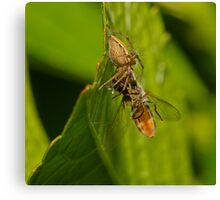 Spider Eating Fly Canvas Print