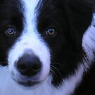 Border Collie by spazjazz101