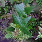 Acrophyllum australe by orkology