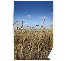 Wheat Stalks Poster