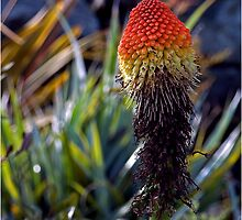 Red Hot Poker - - Cards by Maria A. Barnowl