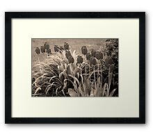 old timey tulips Framed Print