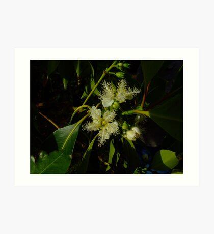 Brush box flowers, Lophostemon confertus Art Print