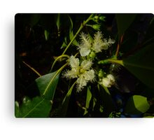 Brush box flowers, Lophostemon confertus Canvas Print