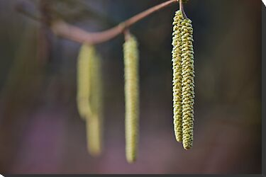 Catkins by Ray Clarke