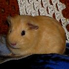 Tanner (My Pet Guinea Pig) by Robert Miesner