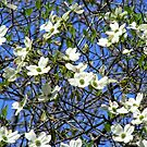 Dogwood Tree in Full Bloom by barnsis