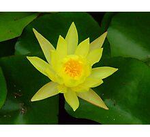 Golden glow of yellow waterlily Photographic Print