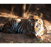 Tiger cleaning himself Photographic Print