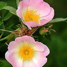 Pink dog Rose by Anthony Thomas