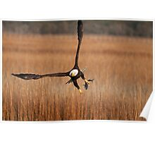 American Bald Eagle Catching a Fish Poster