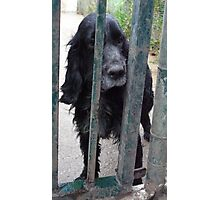An old cockerspaniel awaiting home Photographic Print