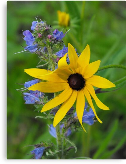 Black-eyed Susan- Rudbeckia hirta and  Common Viper's Bugloss- Echium vulgare by Tracy Wazny