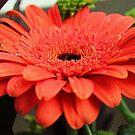 orange daisy by xxnatbxx