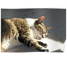 Peaceful Cat, Sleeping and Dreaming in the Sunlight Poster