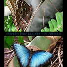 Butterfly (South America) ~ Peleides Blue Morpho by Kimberly Chadwick