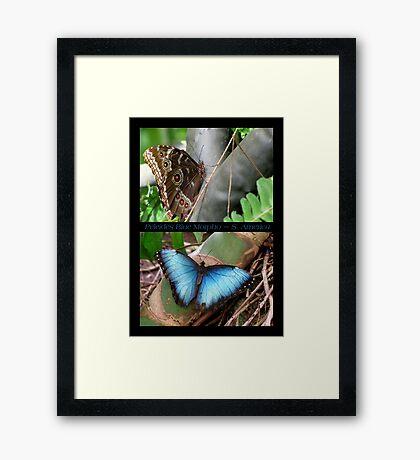 Butterfly (South America) ~ Peleides Blue Morpho Framed Print