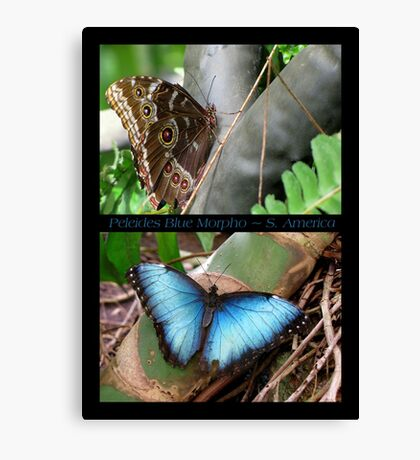 Butterfly (South America) ~ Peleides Blue Morpho Canvas Print