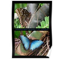 Butterfly (South America) ~ Peleides Blue Morpho Poster