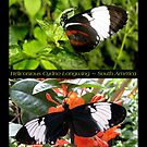 Butterfly (South America) ~ Heliconius cydno by Kimberly Chadwick