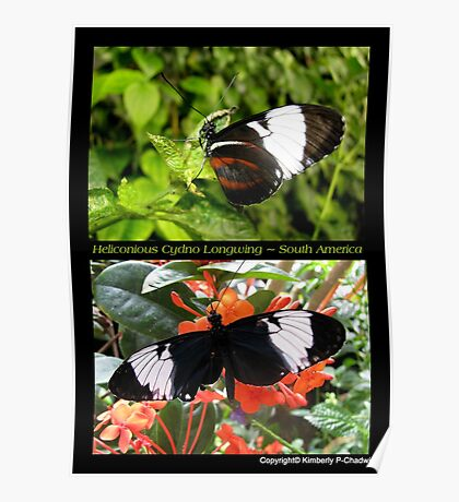 Butterfly (South America) ~ Heliconius cydno Poster