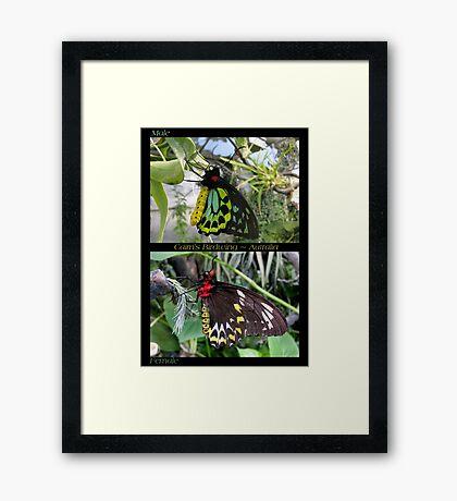 Butterfly (Australia) ~ Cairns Birdwing  ♂ & ♀ Framed Print
