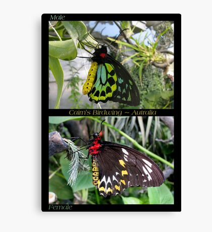 Butterfly (Australia) ~ Cairns Birdwing  ♂ & ♀ Canvas Print