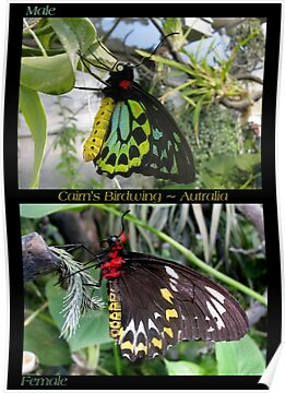 Butterfly (Australia) ~ Cairns Birdwing  ♂ &amp; ♀ by Kimberly P-Chadwick