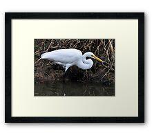 Great Egret Hunting Framed Print