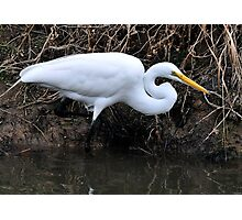 Great Egret Hunting Photographic Print