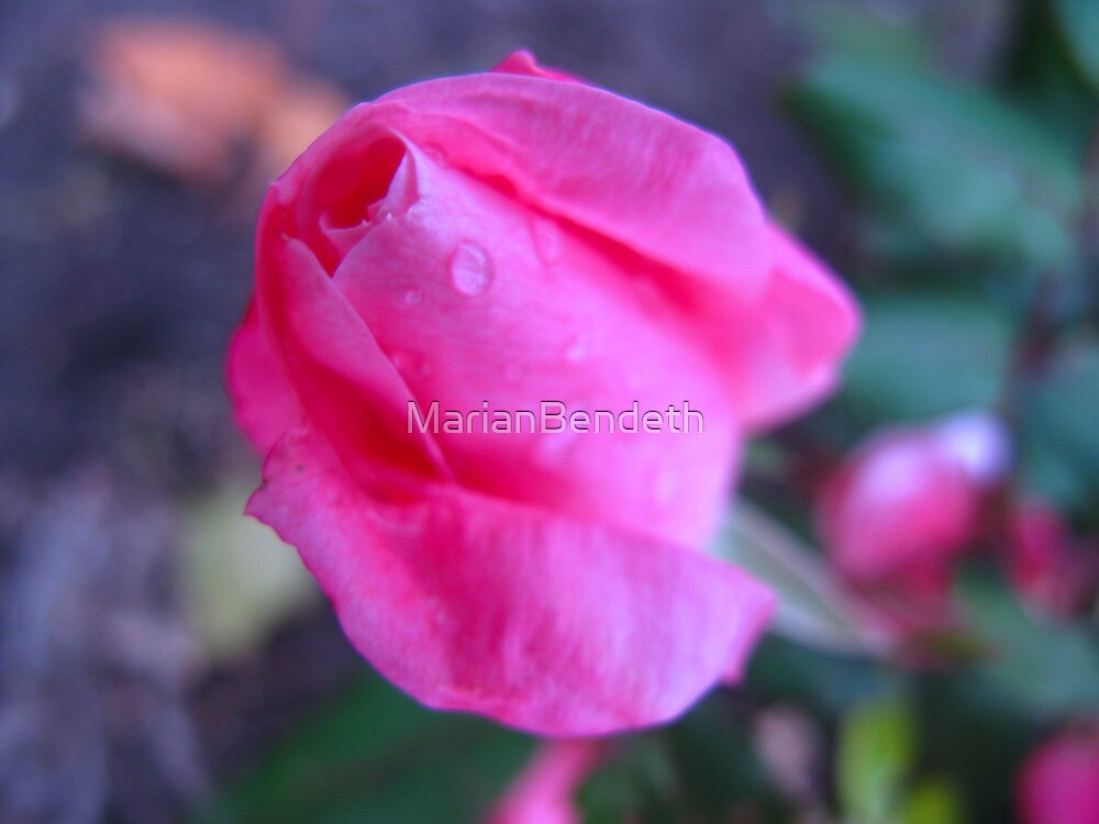 Double Bazooka Rose by MarianBendeth