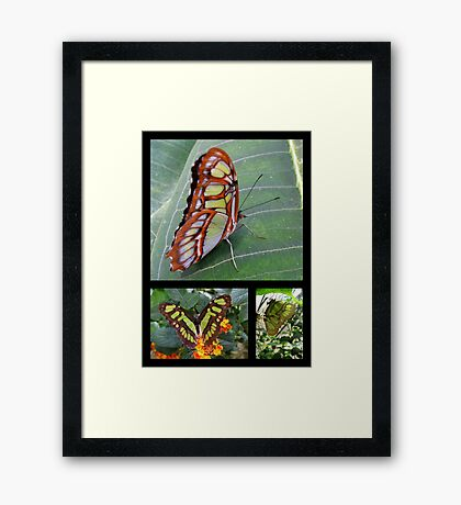Butterfly (South America) ~ Malachite Framed Print