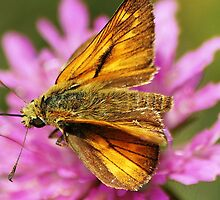 Skipper butterfly by loiteke