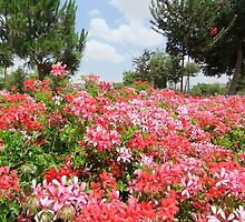 Summer Flowers in Jerusalem by Adam Isaacson