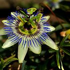 Passion Fruit Flower by sedge808