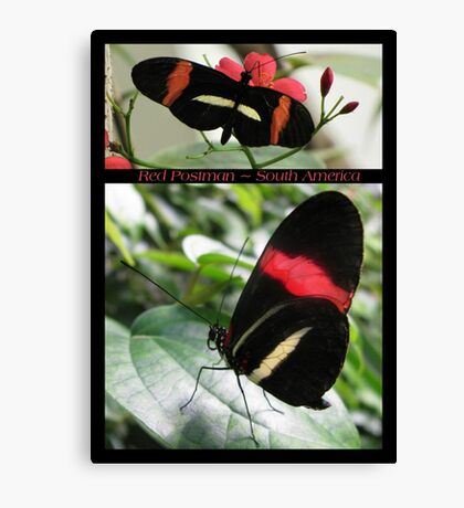Butterfly (South America) ~ Red Postman Canvas Print