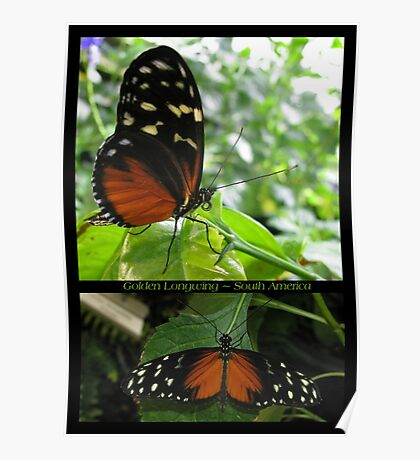 Butterfly (South America) ~ Golden Longwing Poster