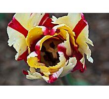 Red White Tulip Photographic Print