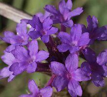 Verbena rigida by orkology
