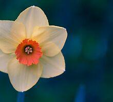 Morning Daffodil  by Michi Fana
