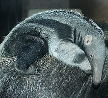 Portrait of a baby anteater by Anthony Brewer