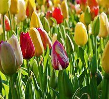 Bowral Tulips by Dawn1951