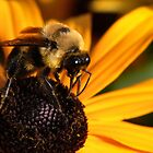The Bee &amp; the Brown-eyed Susan  by PhotosByHealy