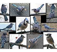 Jazzy Blue Jays Photographic Print